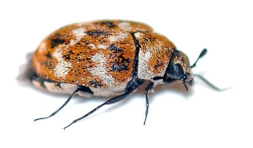 Escarabajo alfombra » ESCARABAJOPEDIA